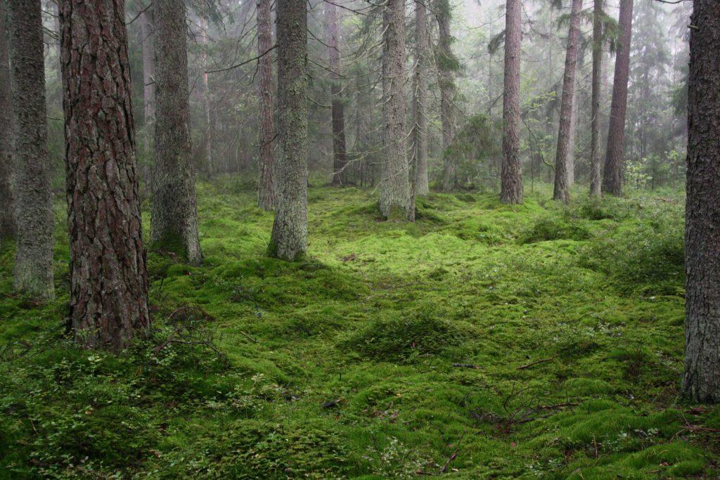 Mossa och träd i Sörbyskogen