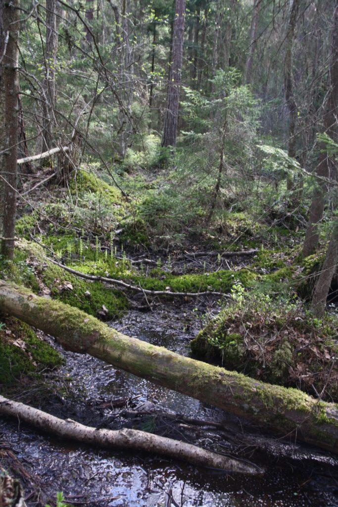 Brännkärret i Sörbyskogen